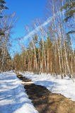 Birch wood in solar spring day. Wet snow path in spring birch wood Royalty Free Stock Photography