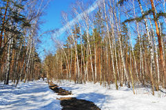 Birch wood in solar spring day Royalty Free Stock Images