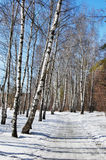 Birch wood in solar spring day. Wet snow path in spring birch wood Royalty Free Stock Image