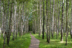 Birch wood in solar summer day. The white trunks of birches illuminated by solar patches of light and a path, leaving afar Royalty Free Stock Images