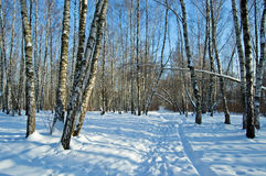 Birch wood in solar winter day. The snow-covered road leaving afar stock image