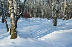 Birch wood in solar winter day. Deep shades on snow in solar birch wood royalty free stock photography
