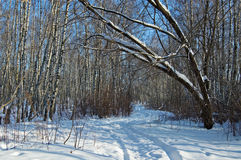 Birch wood in solar winter day. Deep shades on snow in solar birch wood Stock Photo