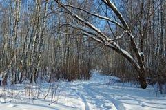 Birch wood in solar winter day. Deep shades on snow in solar birch wood stock photo