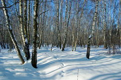Birch wood in solar winter day. Deep shades on snow in solar birch wood royalty free stock photo