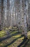 Birch wood Royalty Free Stock Photos