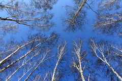 Birch wood in spring against the blue sky Royalty Free Stock Images