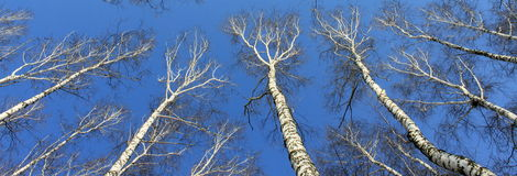 Birch wood in spring against the blue sky Stock Images