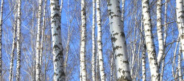 Birch wood in spring against the blue sky Stock Image