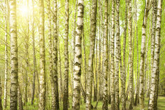 Birch wood in the spring Stock Images