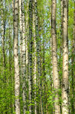 Birch wood in the spring stock image