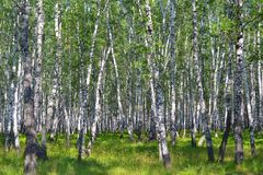 Birch wood in the summer. Royalty Free Stock Photo
