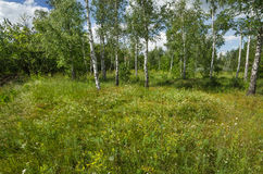 Birch wood in summer Stock Images