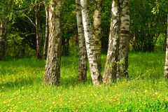 Birch wood. This is sunny lawn in Caucasus birch wood in spring royalty free stock photo