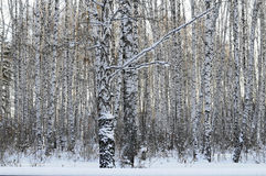 Birch wood in the winter. Stock Images