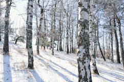 Birch wood in winter Royalty Free Stock Image
