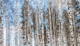 Birch wood in winter. Blue sky view Royalty Free Stock Image