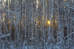 Birch wood in winter. Royalty Free Stock Photo