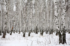 Birch wood in winter Russia royalty free stock photo