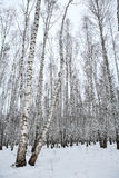 Birch wood in winter Russia Royalty Free Stock Images