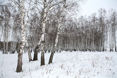 Birch wood in winter Russia. Winter forest landscape Royalty Free Stock Photo