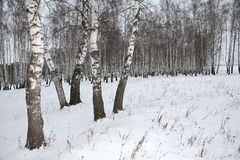 Birch wood in winter Russia Royalty Free Stock Image