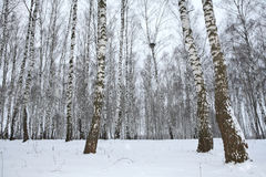 Birch wood in winter Russia stock photos