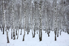 Birch wood in winter Russia Stock Images
