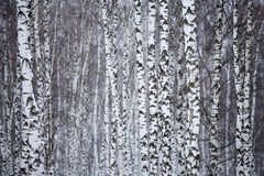 Birch wood in winter Russia Royalty Free Stock Photography