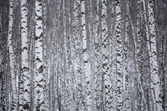 Birch wood in winter Russia stock photo