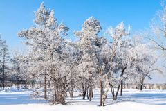Birch wood in winter Russia Stock Photography