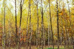 Birch wood with yellowed leaves Royalty Free Stock Image