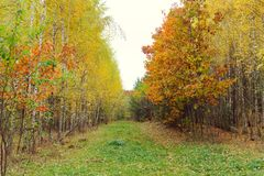 Birch wood with yellowed leaves Royalty Free Stock Photos