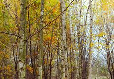 Birch wood with yellowed leaves Royalty Free Stock Photography