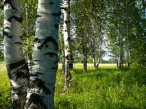 Birch woods Royalty Free Stock Photo