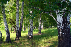 Birch woods Stock Image