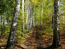 Birch woods alley Stock Photography