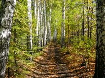Birch woods alley Royalty Free Stock Photo