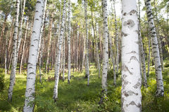 Birch Woods. Birch trees in the woods Stock Photos