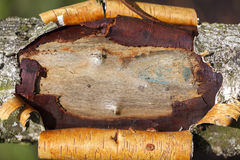 Birch - wound - background Stock Photography