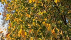Autumn mood. Birch with yellow and green leaves, autumn mood, branches against the blue sky Royalty Free Stock Photo