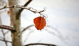 Birch yellow leaf under icy. Incrustation on a branch Royalty Free Stock Photos
