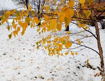 Birch with yellow leaves on a background of white snow royalty free stock photos
