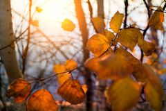 Birch yellow leaves. Birch branches with yellow leaves against the sunset royalty free stock image