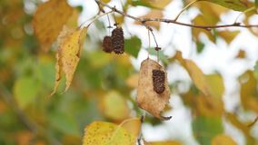 Birch with yellow leaves hanging on branch on a gray autumn sky nature landscape stock footage