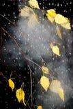 Birch yellow leaves under rain drops Stock Photos