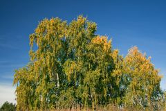 Birch with yellowed leaves Stock Photos