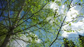 Birch with young bright green leaves against the background cloud. The spring nature in May: a clear blue sky and blossoming buds in the trees. Birch with young stock footage