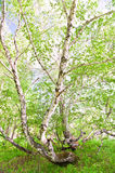 Birch with young green leaves Royalty Free Stock Photography