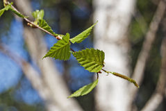 Birch young leaves (Betula pendula Roth). Birch young leaves with white and  blurred bark on the background Stock Photography